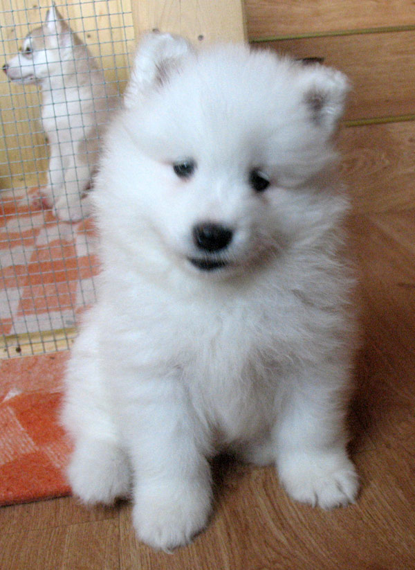 Powiew pnocy fci hodowla siberian husky samoyeds kennel news 2011 voltagebd Image collections